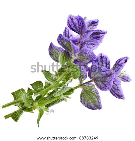 Salvia horminum isolated on a white