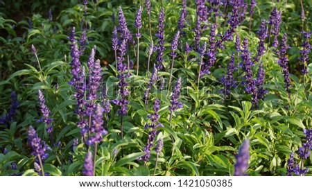 Purple flowers of Salvia plants in the mint family Lamiaceae