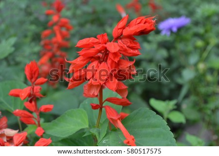 Salvia. Salvia splendens. Flower red. Heat-loving plants. Annual plant. Beautiful flower. Garden. Flowerbed. Close-up. On blurred background. Horizontal photo