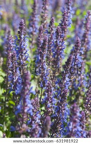 Salvia superba Lyon Steel Blue #631981922