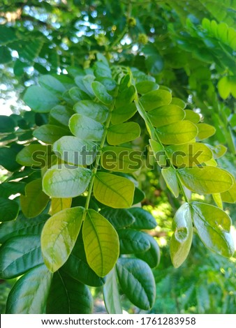 Samanea saman are blooning at summer and green leaf Stok fotoğraf ©