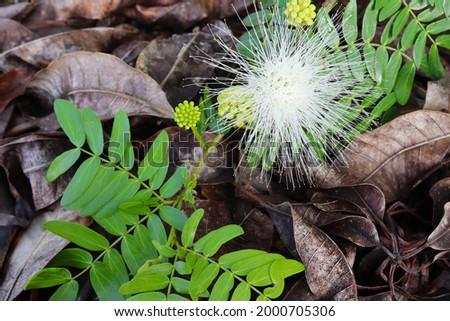 Samanea saman flower blooming on dried leaves closeup in the garden. Stok fotoğraf ©