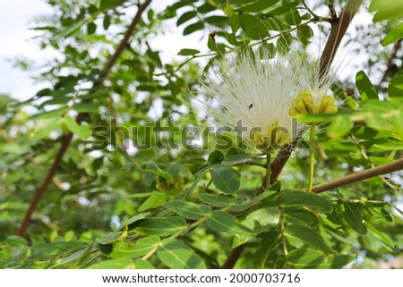 Samanea saman flower blooming with green leaves on tree closeup in the garden. Stok fotoğraf ©