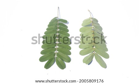 Samanea saman leaves isolated on white background.Common names include saman, rain tree and monkeypod Stok fotoğraf ©