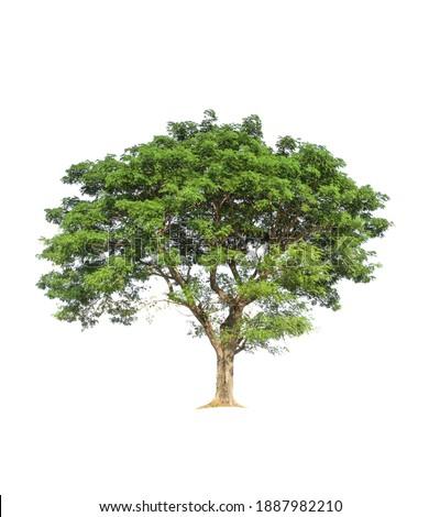 Samanea saman Tree isolated on white background.Rain Tree isolated on white background.Monkey Pod,East Indian Walnut Tree isolated on white background. Stok fotoğraf ©