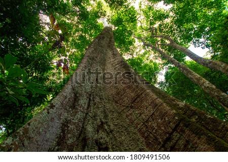 Samauma tree, symbol of the Amazon - Pará / Brazil