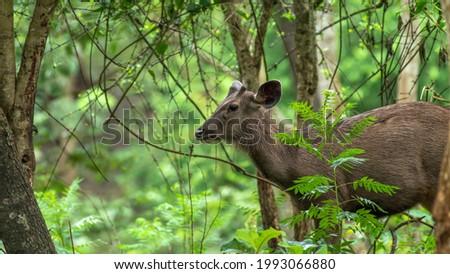 Sambar deer from Kabini forest Karnataka Zdjęcia stock ©