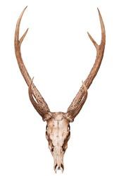 sambar deer head skull isolated white
