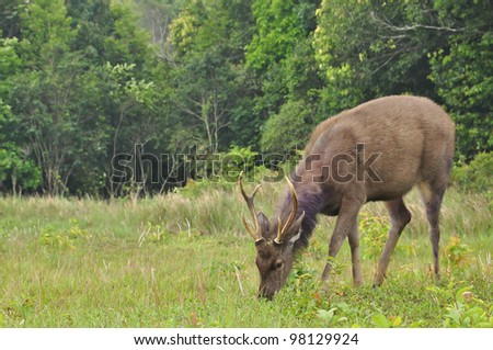 Sambar deer in forest at Khao Yai national park, Thailand