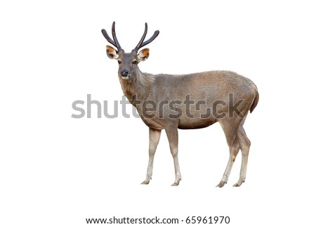 sambar deer isolated