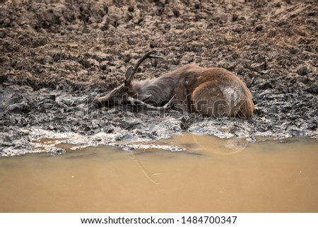 Sambar deer or Rusa unicolor cooling off and playing in mud water near pond at ranthambore national park, rajasthan, india #1484700347