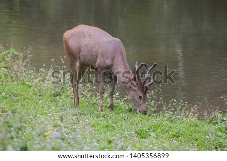 Sambar deer Rusa unicolor Cervus unicolor #1405356899