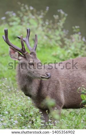 Sambar deer Rusa unicolor Cervus unicolor #1405356902