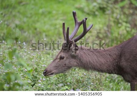 Sambar deer Rusa unicolor Cervus unicolor #1405356905