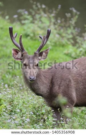 Sambar deer Rusa unicolor Cervus unicolor #1405356908