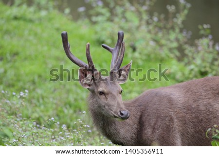 Sambar deer Rusa unicolor Cervus unicolor #1405356911