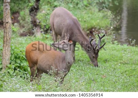 Sambar deer Rusa unicolor Cervus unicolor #1405356914