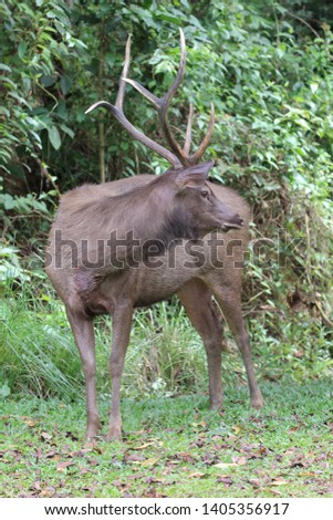 Sambar deer Rusa unicolor Cervus unicolor #1405356917