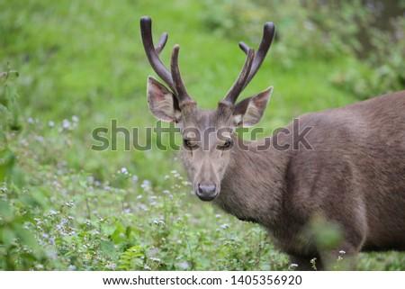 Sambar deer Rusa unicolor Cervus unicolor #1405356920