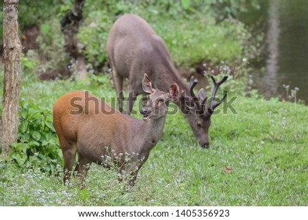 Sambar deer Rusa unicolor Cervus unicolor #1405356923
