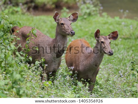 Sambar deer Rusa unicolor Cervus unicolor #1405356926