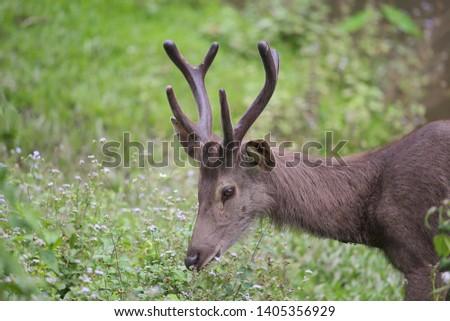 Sambar deer Rusa unicolor Cervus unicolor #1405356929