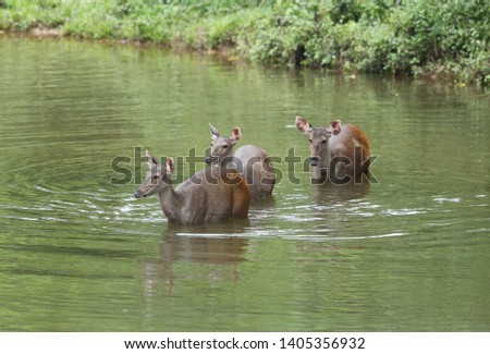 Sambar deer Rusa unicolor Cervus unicolor #1405356932