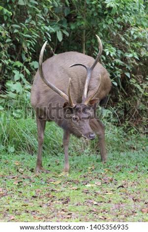 Sambar deer Rusa unicolor Cervus unicolor #1405356935