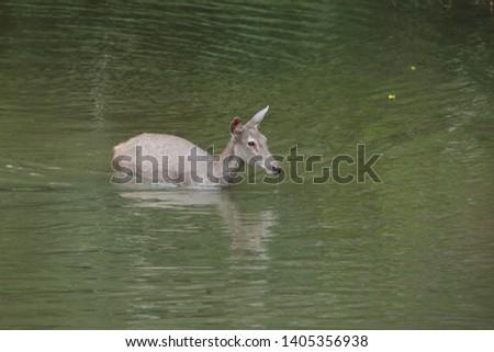 Sambar deer Rusa unicolor Cervus unicolor #1405356938