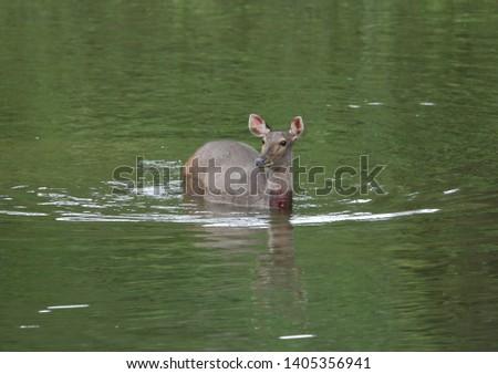 Sambar deer Rusa unicolor Cervus unicolor #1405356941