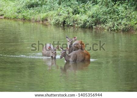 Sambar deer Rusa unicolor Cervus unicolor #1405356944