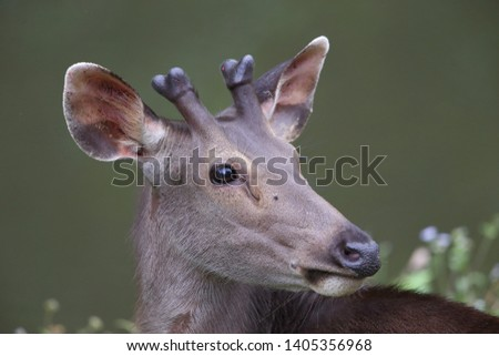 Sambar deer Rusa unicolor Cervus unicolor #1405356968