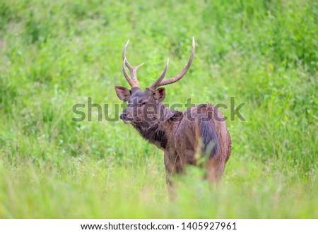 Sambar deer Rusa unicolor Cervus unicolor #1405927961
