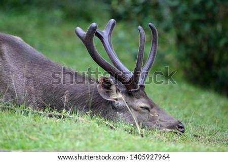 Sambar deer Rusa unicolor Cervus unicolor #1405927964