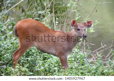 Sambar deer Rusa unicolor Cervus unicolor #1405927967
