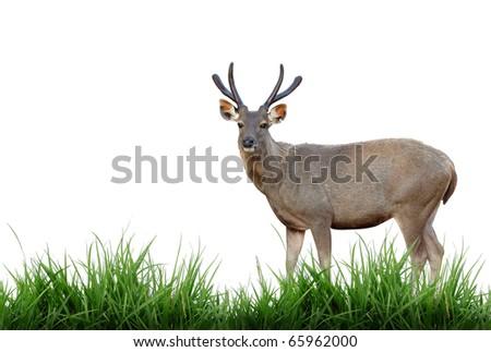 sambar deer with green grass isolated