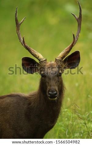 Sambhar Stag, Rusa unicolor Nagarhole National Park, Karnataka, India Stok fotoğraf ©