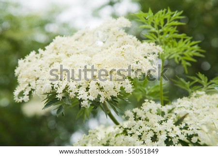 Sambucus nigra; (Black Elder; European Elder; European Elderberry; European Black Elderberry; Common Elde)