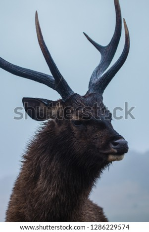 Sambur - a deer of southern Asia with antlers that have three tines. Stok fotoğraf ©