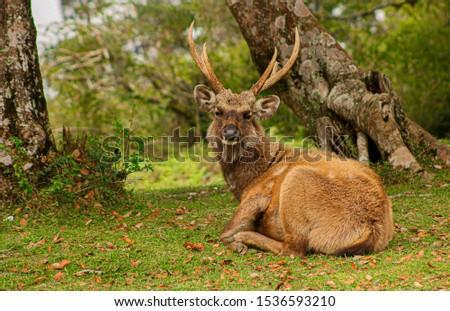 Sambur Deer at Hortain Plains National Park Sri Lanka Stok fotoğraf ©