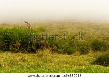 Sambur in Horton Plains, Sri Lanka Stok fotoğraf ©