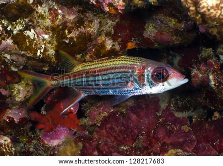 Sammara squirrelfish (Neoniphon sammara) in the Red Sea, Egypt.