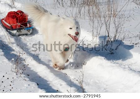 Samoed's dog in winter forest transport pulk