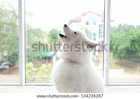 Samoyed dog howling on light background