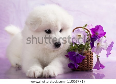 Samoyed dog in studio on a purple background and flowers