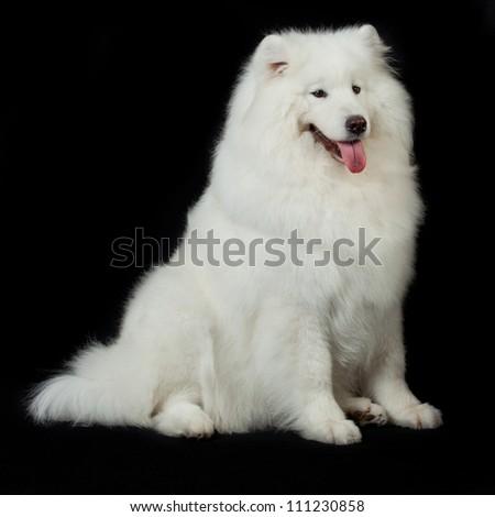 Samoyed dog  on black background. #111230858