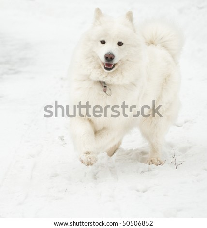 Samoyed dog on the snow.