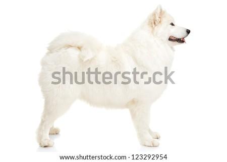 Samoyed dog on white background - stock photo