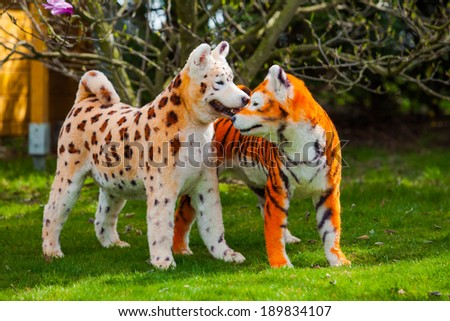 samoyed  dog repainted on leopard and tiger.  groomed dog. pet grooming. Samoyed dog