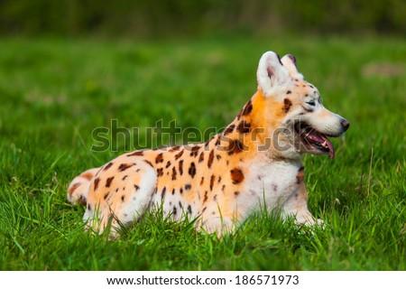 samoyed  dog repainted on leopard. groomed dog. pet grooming. Samoyed dog
